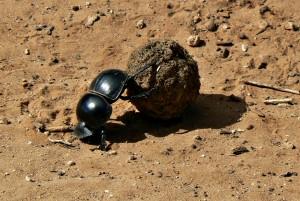scarabée bousier